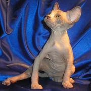 Котёнок канадского сфинкса,  мальчик,  минковый биколор,  3 мес.