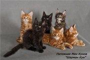 котята породы мейн кун в Атырау