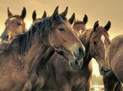 лошади на откорм и убой