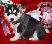 сибирские хаски щенки