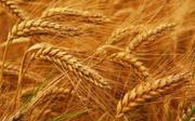 Продам пшеницу,  зерноотходы, ячмень,  овёс. По всей территории РК и РФ ,